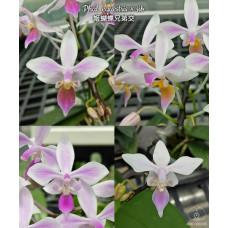 Phal. Equestris × sib
