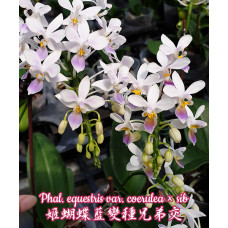 Phal. Equestris Coerulea × sib