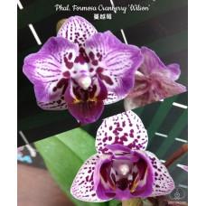 Phal. Formosa Cranberry Wilson B1/EF