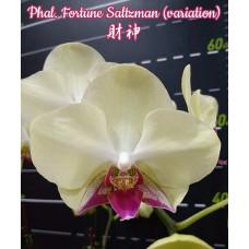 Phal. Fortune Saltzman Montclair