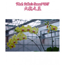 Phal. Fullers Sunset 1,7
