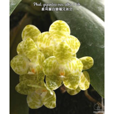 Phal. Gigantea var. Alba × sib 3,5