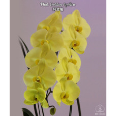 Phal. Golden Apollon 1,7