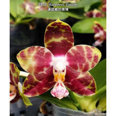 Phal. Hannover Passion