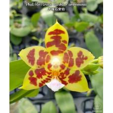 Phal. Hos Green Marble × Amboinensis