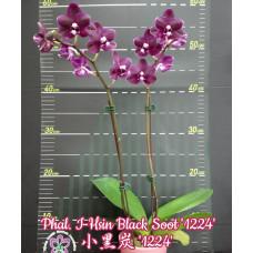 Phal. I-Hsin Black Soot 1224