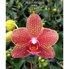 Phal. I-Hsin Claire 2399