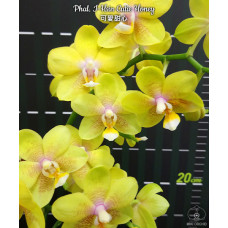 Phal. I-Hsin Cutie Honey
