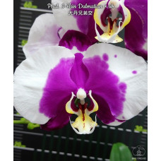 Phal. I-Hsin Dalmatian × sib