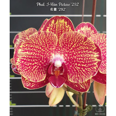 Phal. I-Hsin Picture 292