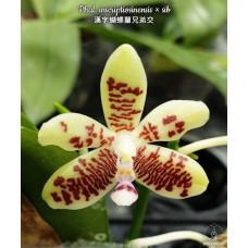 Phal. Inscriptiosinensis × sib