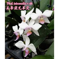 Phal. Intermedia × sib