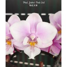 Phal. Jiahos Pink Girl