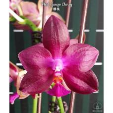 Phal. Jungo Cherry 1,7