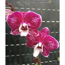 Phal. Kaoda Twinkle × Pulcherrima