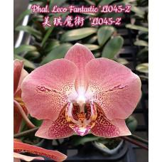 Phal. Leco Fantastic Ll045-2