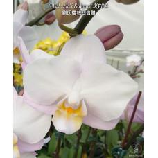 Phal. Lius Sakura KF 4N 1,7