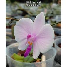 Phal. Lowii × sib