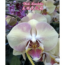 Phal. Mandala 1,7