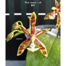 Phal. Mannii × sib
