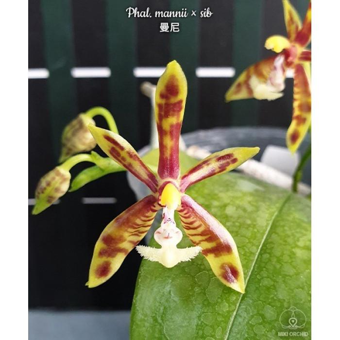 Фаленопсис (Mannii × sib)