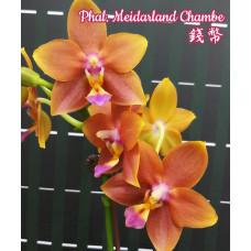 Phal. Meidarland Chambe