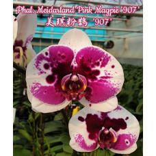 Phal. Meidarland Pink Magpie 907