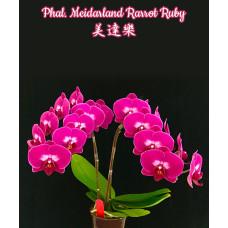 Phal. Meidarland Rarrot Ruby