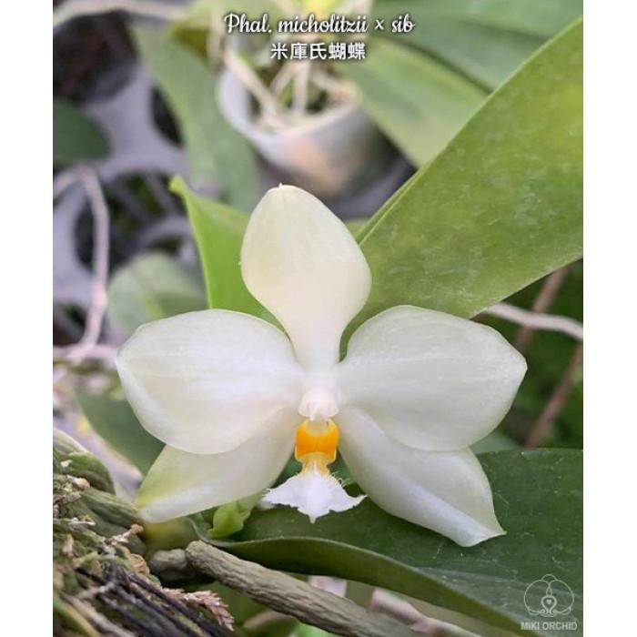 Фаленопсис (Micholitzii × sib)
