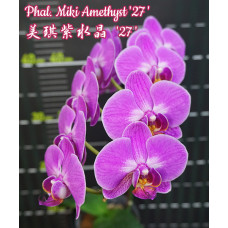 Phal. Miki Amethyst 27