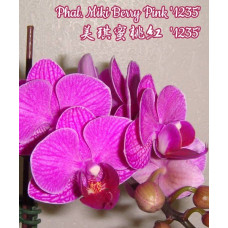 Phal. Miki Berry Pink 1235