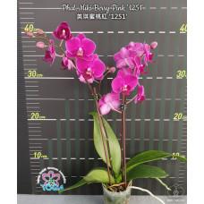 Phal. Miki Berry Pink 1251