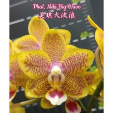 Phal. Miki Big Wave 1,7