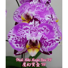 Phal. Miki Magic Box 79 1,7