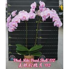 Phal. Miki Pearl Shell 172
