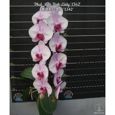 Phal. Miki Pink Lady 1342