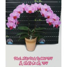 Phal. Miki Pink Rabbit 174