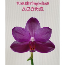 Phal. Miki Purple Pearl