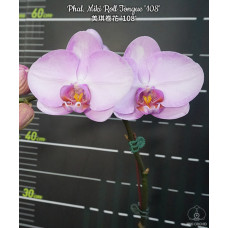 Phal. Miki Roll Tongue 108 1,7