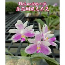 Phal. Modesta x sib 1,7
