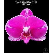 Phal. OX Spot Queen 1460