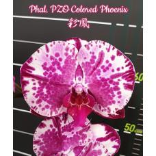 Phal. PZO Colored Phoenix