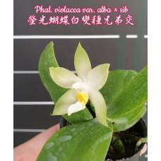 Phal. Penang Violacea var. alba × sib