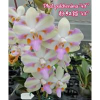 Phal. Pulcherrima 4N 1,7