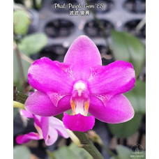 Phal. Purple Gem ES