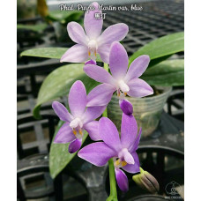 Phal. Purple Martin var. blue
