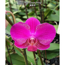 Phal. Queen Barry 1,7