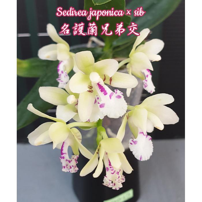 Фаленопсис Седирея Японика (Sedirea Japonica)