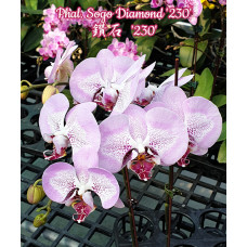 Phal. Sogo Diamond 230 3