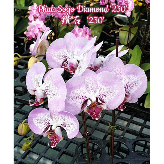 Фаленопсис (Sogo Diamond 230)